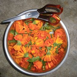 Freshly Harvested Callendula