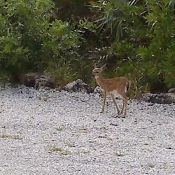 A Key Deer fawn in our parking lot.