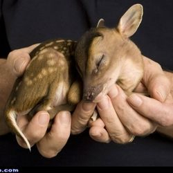 Baby fawn.