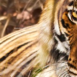 This Image was rated as Top 20 Tiger Images for the year 2012 by NDTV