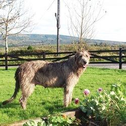 Irish Wolfhound at Knockroe