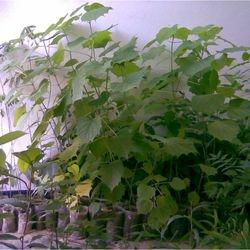 Seedling of Gmelina arborea in control