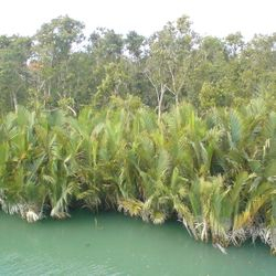 Nypa fruticans in the Sundarbans
