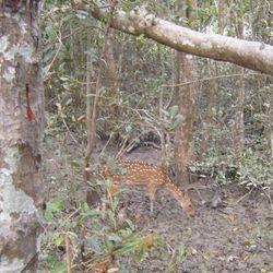 Spotted deer in the Sundarbans