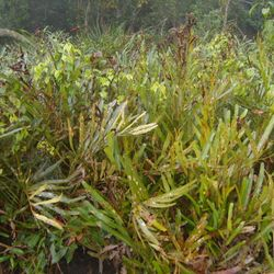 Ferns behind which Royal Bengal Tiger hides