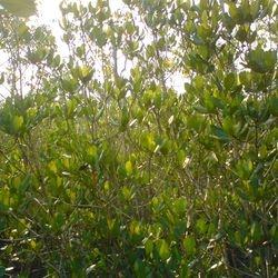 Ceripos decandra in the Sundarbans
