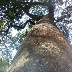 Dipterocarpus turbinatus tree
