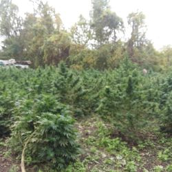 Best Outdoor Strains to Grow. White Widow. There's a lot that can be said for White Widow's appearance and potency