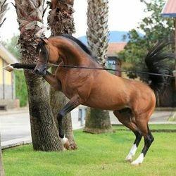Arabian Stud Horse