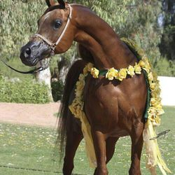 Arabian Show Horse Winner