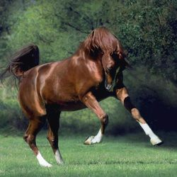 Arabian Horse Frolicking