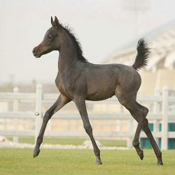 Little Arabian Colt