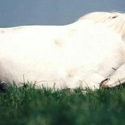 White Horse Laying Down