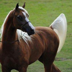 Arabian Show Horse