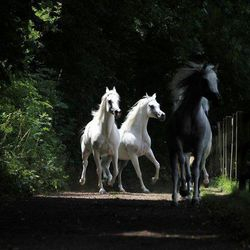 One Black & Two White Horses