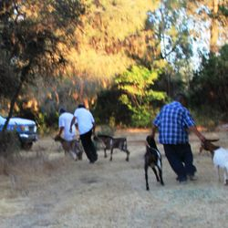 NCMGA members assisted in the evacuation of goats from the Ponderosa Fire 2012
