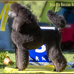 BIS 3rd junior, Estonian Poodle Club specialty