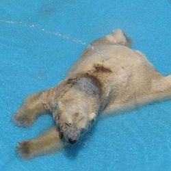 Arturo's very shallow pool does not cover his body. Note coat discoloration.