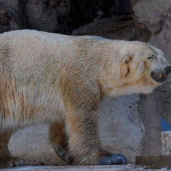 Arturo in his hot, totally inadequate enclosure at the Mendoza Zoo.