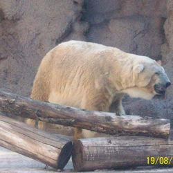 Arturo, the polar bear forced to live a miserable life in the desert zoo of Mendoza