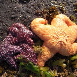 Starfish at low tide