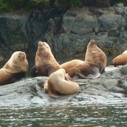 Sea-Lions sunbathing