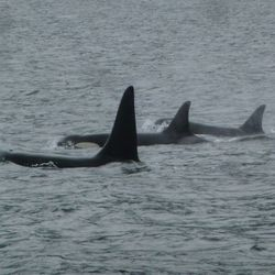Local Whale Pod