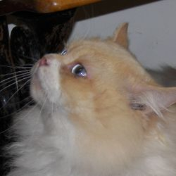 Adult red point Ragdoll