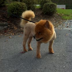 Nala is a chow chow who got a nice summer shave down
