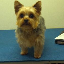 Candy is a yorkie who is just so sweet