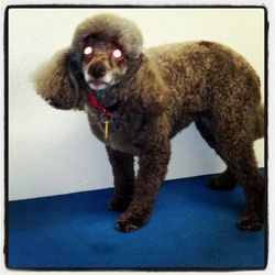 Cricket toy poodle such a good dog