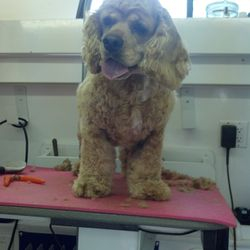 Stoli (cocker spaniel) after her groom