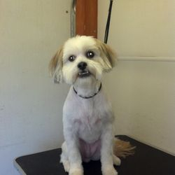 Carmel is a lhasa who loves to kiss you