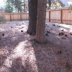 Before Pine Needle Removal