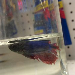 Betta with fin rot.
