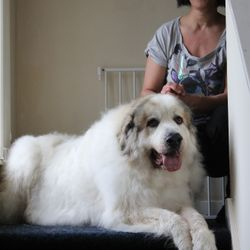 Billy the pyrenean mountain dog