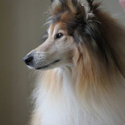 Clunie the beautiful rough collie all clean and groomed