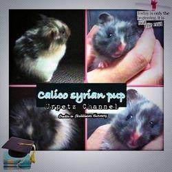 Wonderful healthy calico pup from Skribbletots Hamstery