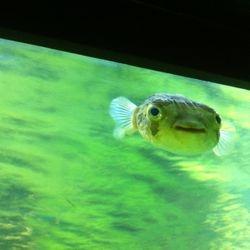 En sjukt kul blåsfisk!