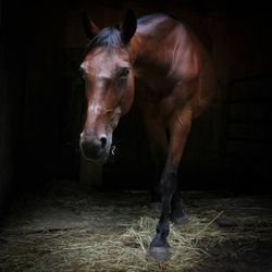 Scarlett- 17 YO reg standardbred. Raced 187 races and best as a companion horse. Lots of personality.