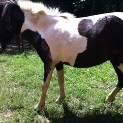 lUCY 2 YO mini. Shy but likes attention. Good for farrier and in hand.