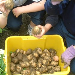 Potatoes from our school garden
