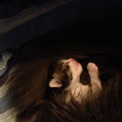 Så här mysigt kan man också ha det när man sover - Indra inlindad av mammas svans! 2012-12-?
