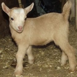 Photo Courtesy to Katie at Mountain Mischief Homestead! A day old.