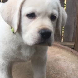 Cesar pick of Litter Milky puppy