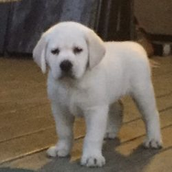 Blanco Labrador Puppy Mcfly Alpha puppy