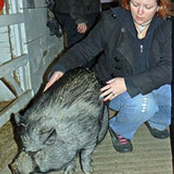 Abigail the pot bellied pig shows Julie where she wants Reiki