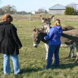 Joey donkey not wanting to wait his turn while Miranda has her animal reiki session