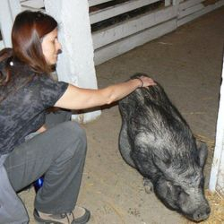 Abigail the pot bellied pig loves Reiki