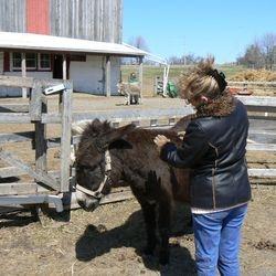 Elvira donkey relaxing with Animal Reiki
